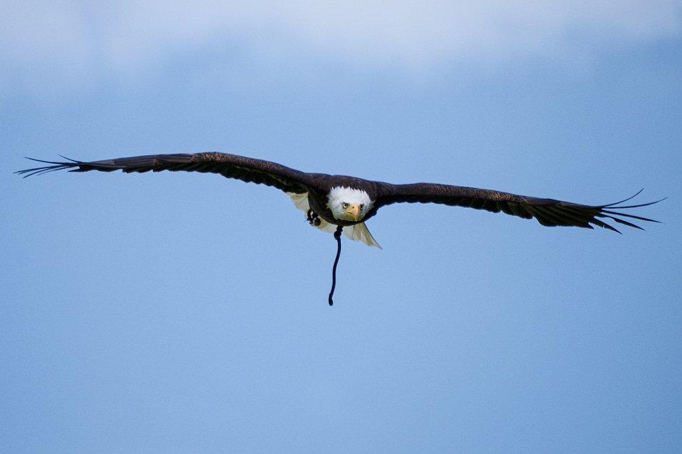 Orel bělohlavý v letu.