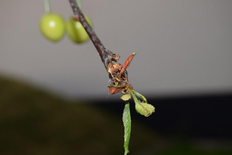 Dubnové a květnové mrazy škodily sadařům i vinařům. Sčítali škody i na ovocných stromech.