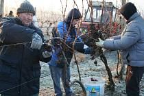 Poslední prosincové pondělí začala vinařská společnost Réva Rakvice se sběrem hroznů na ledové víno.