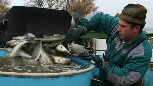Společnost Rybníkářství Pohořelice zahájila podzimní výlov rybníka Nesyt.