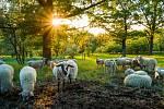 V loňském roce se pásly ovce nebo kozy například na Tabulové, Děvíně, Kočičím kameni nebo na Svatém kopečku.