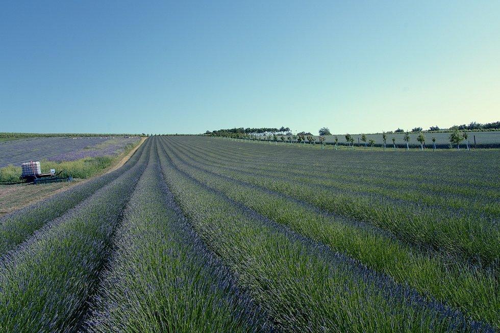 Levandulová pole ve Starovičkách na Břeclavsku po zpoždění rozkvétají. Jsou lákadlem turistů a nadšených fotografů, 18. června 2021.
