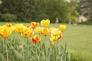V parku lednického zámku letos vysadili třicet tisíc tulipánů.