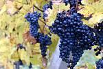 Vinice na jihu Moravy. Velké Bílovice.