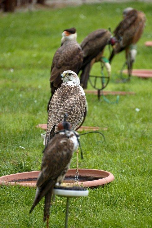 Letové ukázky dravců se vrátily do zámeckého parku v Lednici na Břeclavsku.