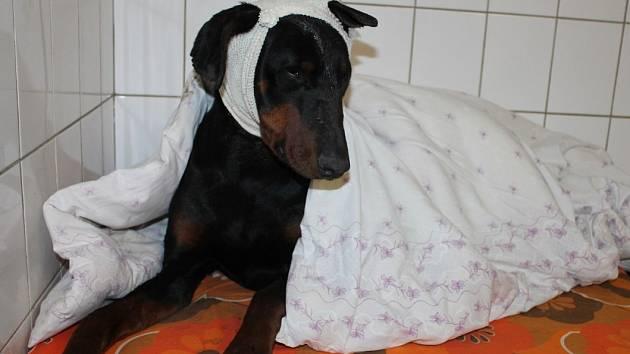 Zraněný dobrman je v útulku v Bulharech.