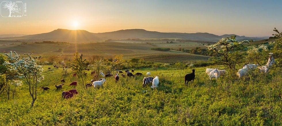 Na Dunajovické kopce se vrátily ovce a kozy. Pastva pomáhá vzácným rostlinám.