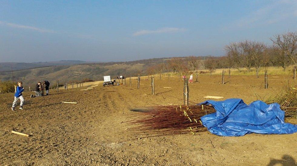 Téměř dvě stě mladých mandloní vysadili o víkendu v Hustopečích. Rozšířili tak tamní rozsáhlý sad.
