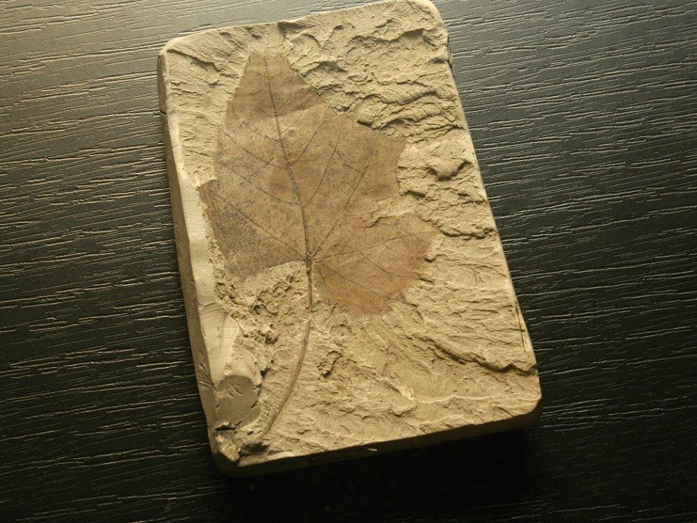 Otisk révy vinné je starý osmnáct milionů let.