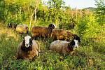 Louky na Dunajovických kopcích a na Pálavě spásá dobytek.