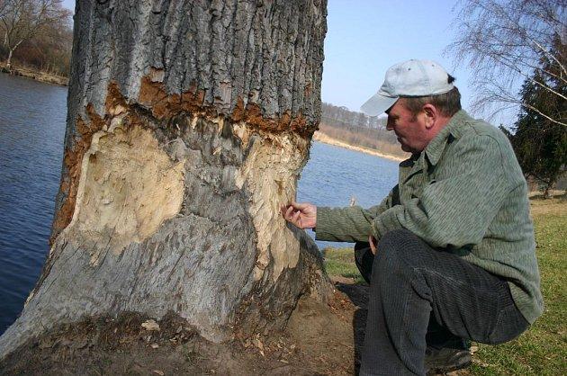 Škody, které bobři napáchali na břehu Dyje ve Staré Břeclavi.