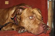Pes odchycený v bývalém hotelu Hvězda v Lanžhotě.