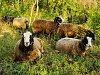 Na Pálavě jako ve Skotsku. Hektary luk spásá dobytek