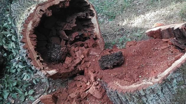 Staré duby se postupně rozpadají.