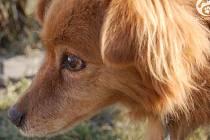 S kompletně oddělenou kostí v rameni a pěti broky v těle našli dobrovolníci ze spolku Dočasky.cz psa jménem Fox.