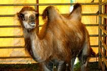Artisté, akrobati, klauni i tygři a další zvířata z cirkusu Andrés vystoupí ve stanu na hřišti břeclavského Tatranu Poštorná. Od čtvrtka do neděle celkem čtyřikrát. Děti se mohou vyfotit na velbloudech.