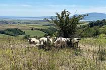 Stádo ovcí Mirka Vodáka na Kamenném vrchu u Hustopečí pomáhá odstranit invazivní druhy rostlin.