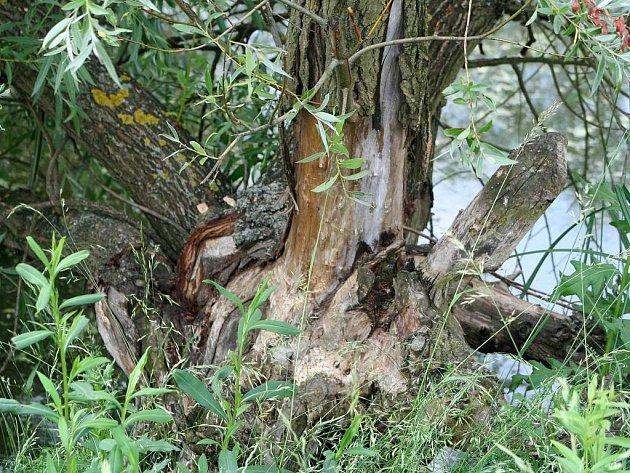 Rakvičtí svádějí lítý boj s bobry, kteří se usídlili v katastru obce.