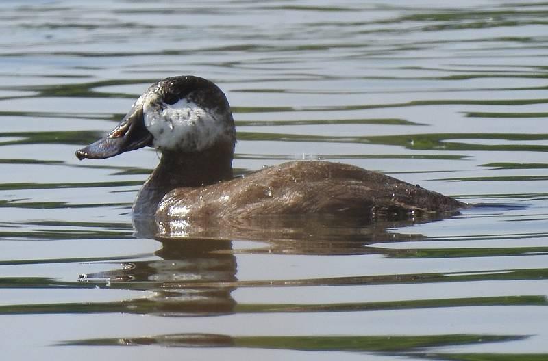 Na Prostředním rybníku mezi Lednicí a Hlohovcem ornitologové zachytili výskyt kachnice kaštanové. Zatímco v Severní Americe se vyskytuje běžně, v České republice je velice vzácná.