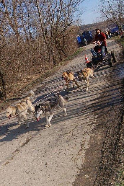 Závod psích spřežení v Hustopečích.