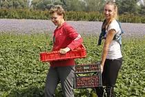 Lidé na Břeclavsku využívají na začátku června možnosti samosběru jahod. V Moravském Žižkově v pátek odnášeli na zvážení plné kbelíky i přepravky tohoto druhu ovoce.