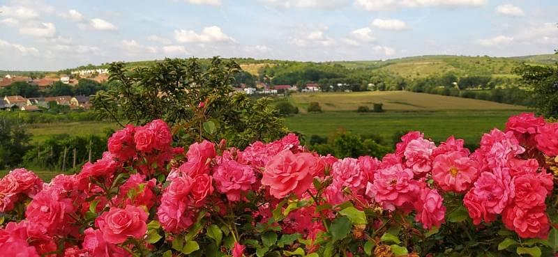 Z vycházky za růžemi, vínem a rozhledem ve Velkých Pavlovicích.