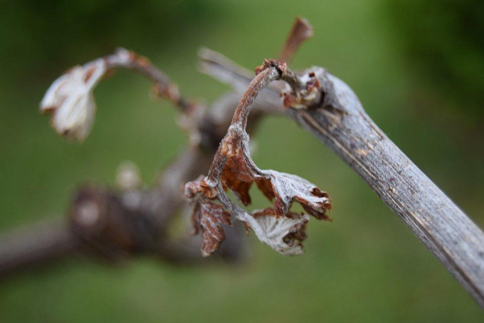 Dubnové a květnové mrazy škodily sadařům i vinařům. Sčítali škody například na vinohradech.
