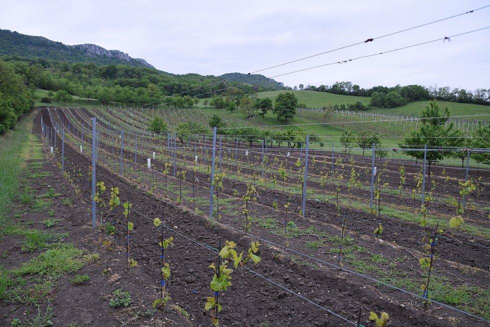 Mladé vinohrady v Dolních Věstonicích vinaři Jaromíru Sasínkovi zlikvidovala srnčí zvěř.