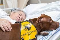 """Patnáctiměsíční """"pitbullku"""" Miu, s níž do břeclavské nemocnice pravidelně přichází Martina Pařenicová, hladí jedna z pacientek. Pes pomáhá zejména lidem po mrtvici nebo těm s pohybovými problémy. Miu si oblíbili také v mateřské škole."""