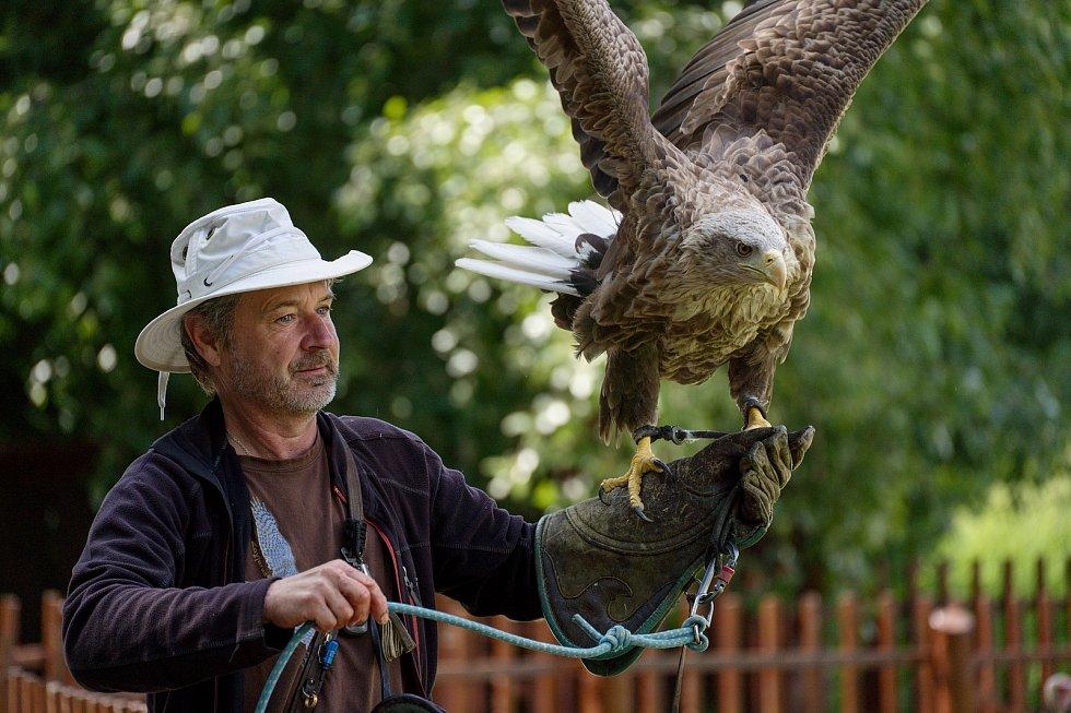 Jiří Hrotek s orlem mořským. Letové ukázky dravců se vrátily do zámeckého parku v Lednici na Břeclavsku.