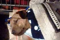 Poraněného psa ošetřily veterinářky.