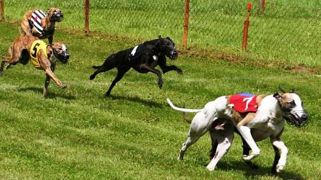 Na tradiční lednické Grand Prix CZ, která se konala již po jedenatřicáté závodilo  skoro šedesát psů osmi plemen. Nejpočetnějším plemenem byli whipeti. V této kategorii si vítězství vyběhal Kent z Hedvábí.