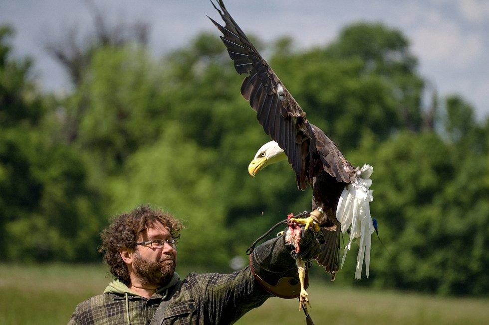 Orel bělohlavý. Letové ukázky dravců se vrátily do zámeckého parku v Lednici na Břeclavsku.