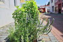 U břeclavské synagogy, koupaliště nebo třeba před poštou si mohou lidé nově natrhat čerstvé bylinky. Zástupci města je do několika lokalit vysadili s pomocí zahradní architektky Ilony Vybíralové.