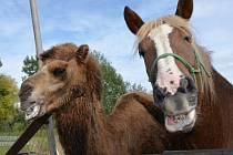 Veterinářka v Břeclavi se dočasně stará o velbloudici jménem Landyša.