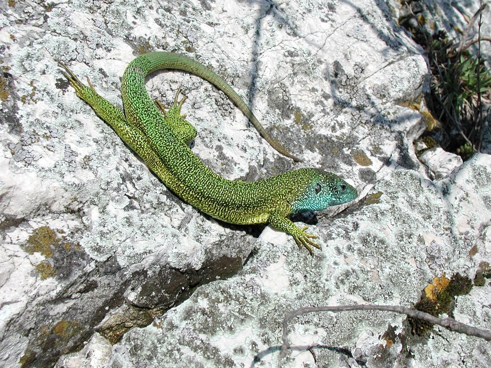 Návštěvníci Pálavy mohou spatřit i ještěrku zelenou.