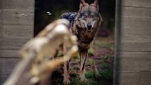 Lebka pravěkého vlka je jeden z nejvzácnějších nálezů moravských archeologů.