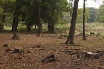 Ochranáři s lesníky prořezali některé stromy v lokalitě Soutok – Podluží, aby ochránili ohrožené brouky.