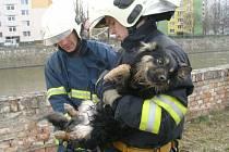 Promrzlého psa zachránili břeclavští strážníci a hasiči.