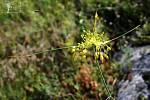 Na Pálavě a Dunajovických kopcích vykvetl žlutý česnek.