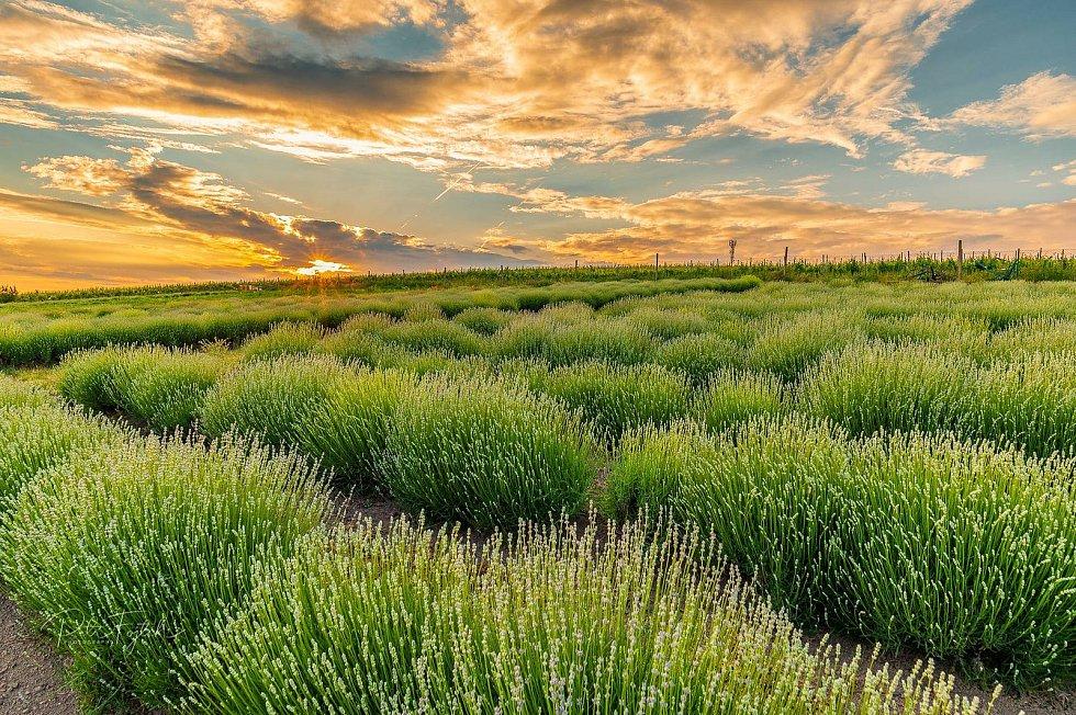 Levandulová farma ve Starovičkách brzy vykvete.