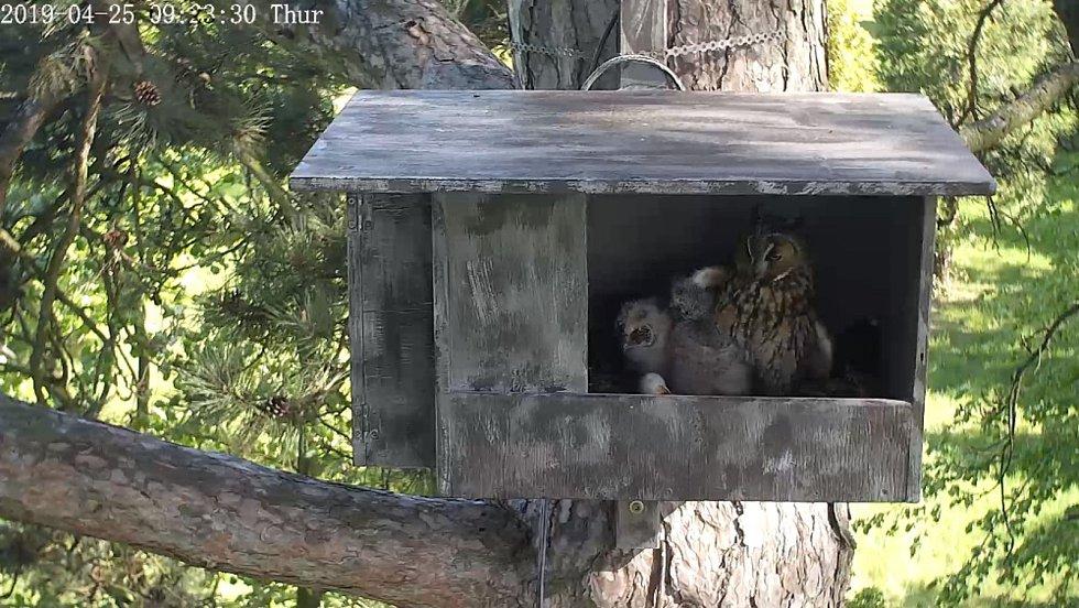 Na webových stránkách www.budkyonline.cz běží v těchto dnech pravděpodobně nejzajímavější část unikátního videopřenosu z hnízdění sov - kalousů ušatých. Webové kamery snímají nepřetržitě dvě odrůstající mláďata spolu se samicí.