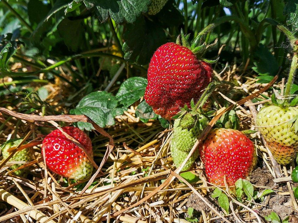 Samosběry jahod na jižní Moravě začaly oproti loňsku se zpožděním. První lidé vyrazili na plantáž v Moravském Žižkově na Břeclavsku, 9. června 2021.