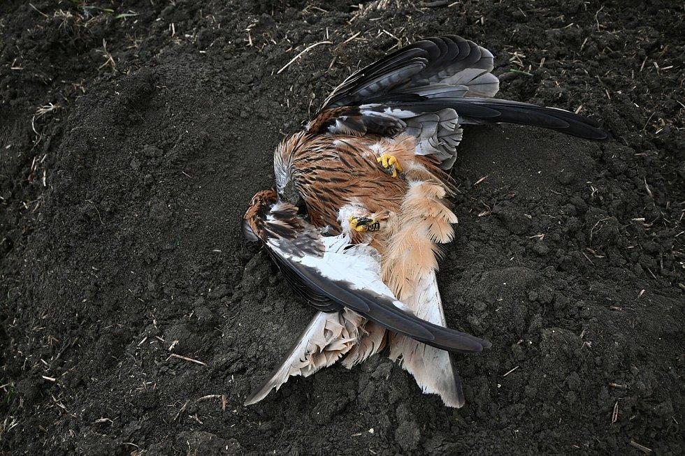 Luňák červený nalezený 14. března u Žádovic. Zaťaté pařáty a křečovitě roztažená křídla ukazují na otravu prudkým jedem.