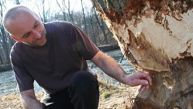 Bobři na břehu Dyje ve Staré Břeclavi okusují i objemné stromy. Minulý rok lidé vyrazili proti nevítaným návštěvníkům do boje drsným způsobem. Do ohlodaných míst natloukli velké hřebíky, aby zvířata zranily.