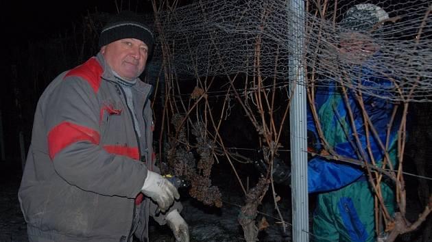 Lidé z velkopavlovického vinařství Pavlovín sbírali zmrzlé hrozny na ledové víno.