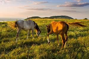 Na Stolové hoře v CHKO Pálava na Mikulovsku spásají pastvinu o velikosti jednoho hektaru čtyři koně. Dvě kobyly a jejich hříbata.