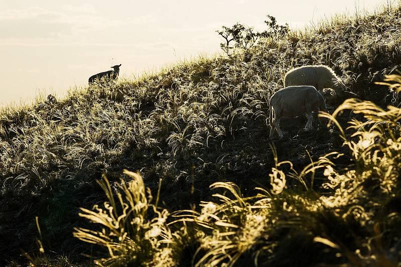 Ovce na kavylových loukách Pálavy.