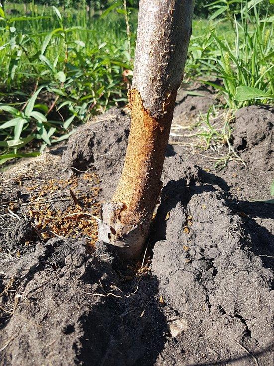 Farma Bílovice přišla o pět tisíc z celkových sedmi tisíc stromů meruněk. Poté, co je ožrali hraboši, stromy uschly.