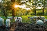 Ovce na Stolové hoře.